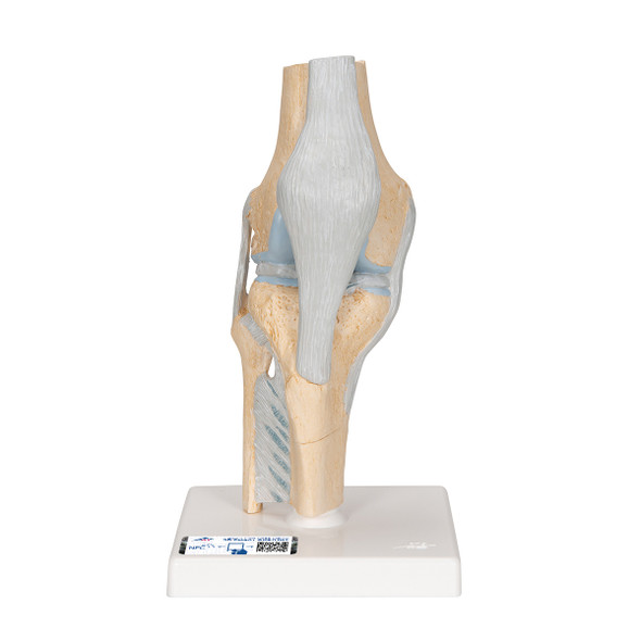 Sectional Knee Joint