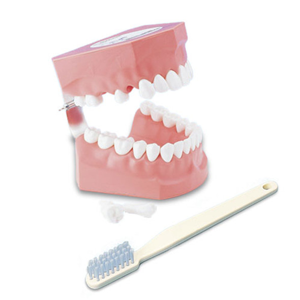 Adult Tooth Brushing model