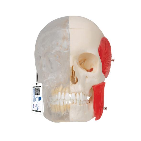 BONElike Human Skull Model, Half transparent and Half Bony, 8 part | 3B Scientific A282