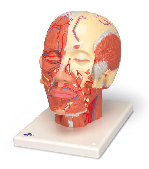 Head Musculature w/ Vessels