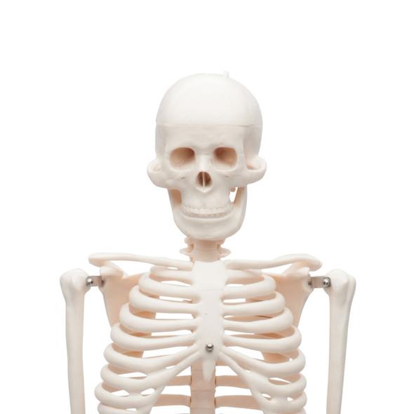 Value Miniature Human Skeleton - Skull Detail
