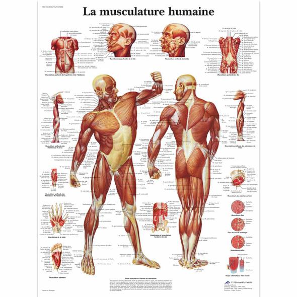 "La Musculature humaine | Poster, laminated | 20"" x 26"""