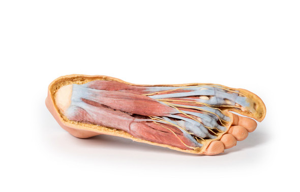 Foot - Plantar surface & superficial dissection on the dorsum - 3D Printed Cadaver