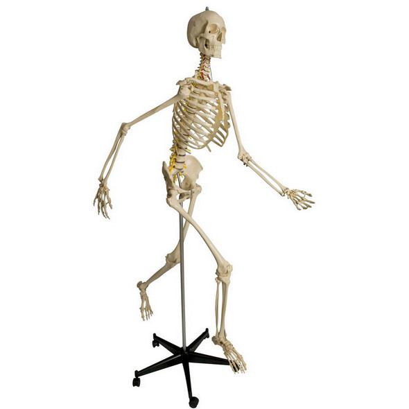 Rudiger Physiological Skeleton