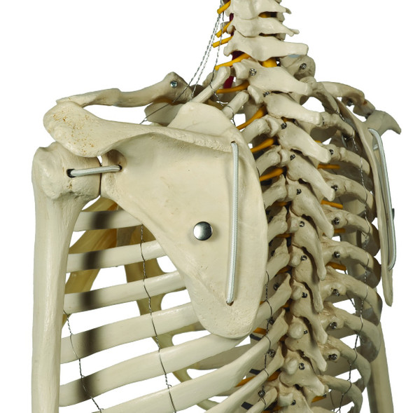 Rudiger Physiological Skeleton - articulated scapula