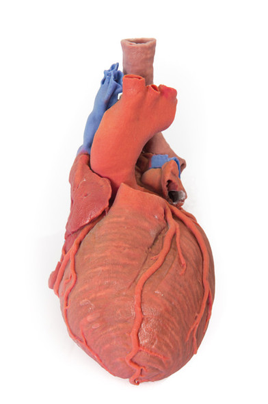 Heart and the distal trachea, carina and primary bronchi - 3D Printed Cadaver
