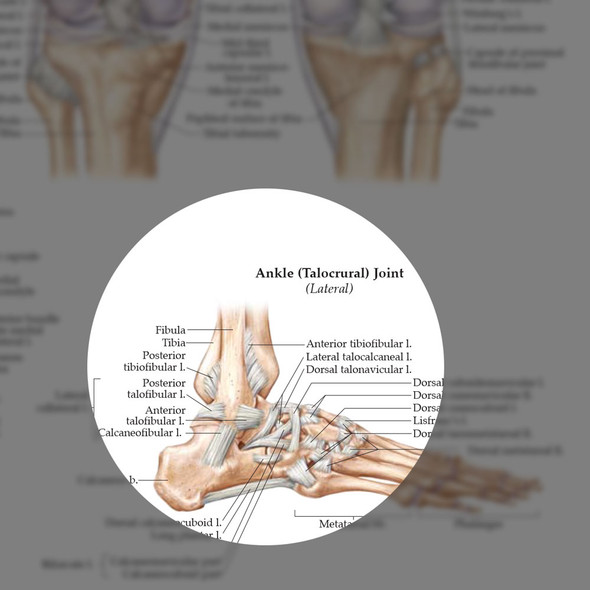 Ligaments of the Joints - highlight
