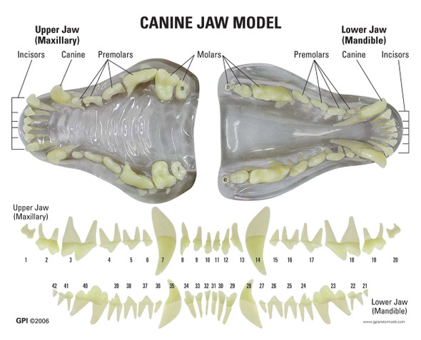 Clear Canine Jaw