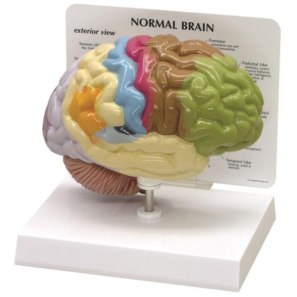 Sensory/Motor Brain model - GPI 2950