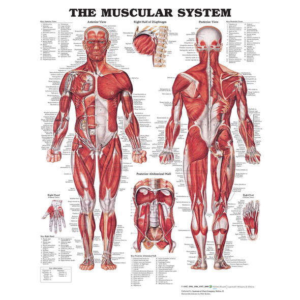 The Muscular System chart, Male