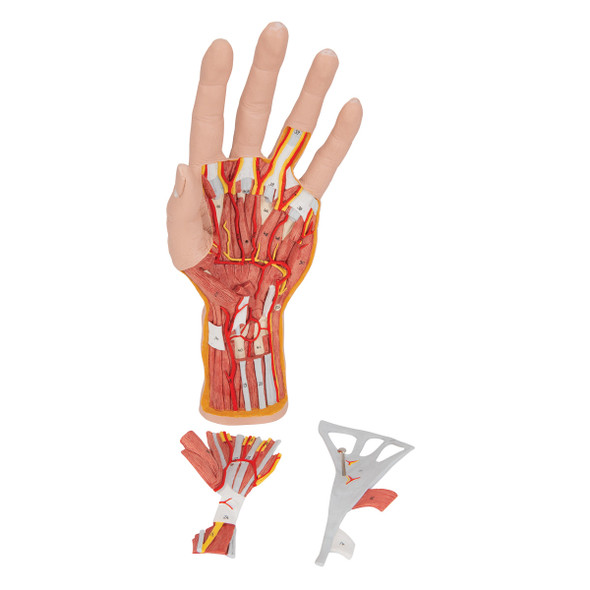 Hand Structure Model, 3 parts