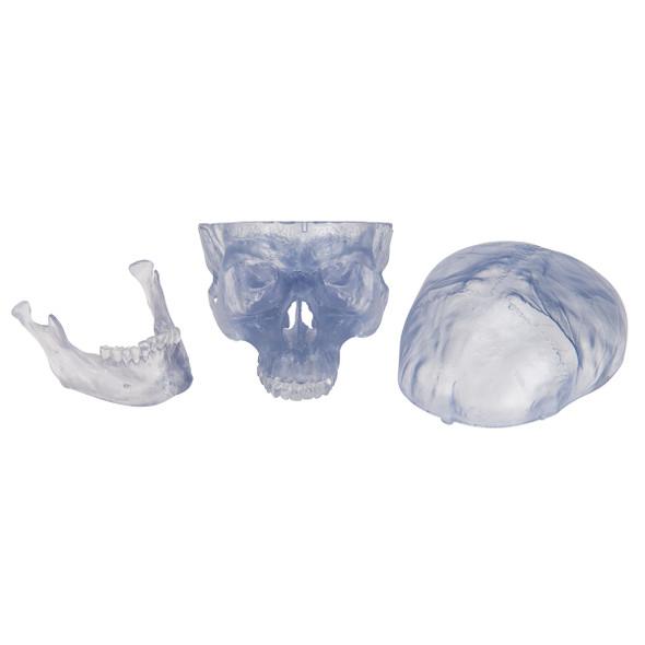 Artificial, Transparent Skull Model, 3 part | 3B Scientific A20/T