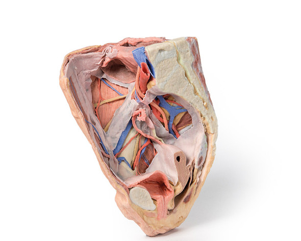 Female right pelvis - 3D Printed Cadaver