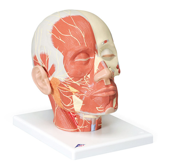 Head Musculature w/ Nerves