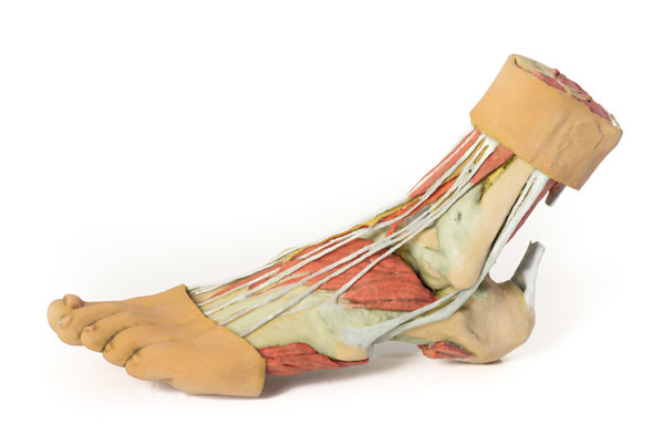 Foot - Structures of the plantar surface - 3D Printed Cadaver