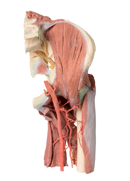 Lower Limb - deep dissection of a left pelvis and thigh - 3D Printed Cadaver