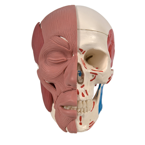 Skull with Facial Muscles