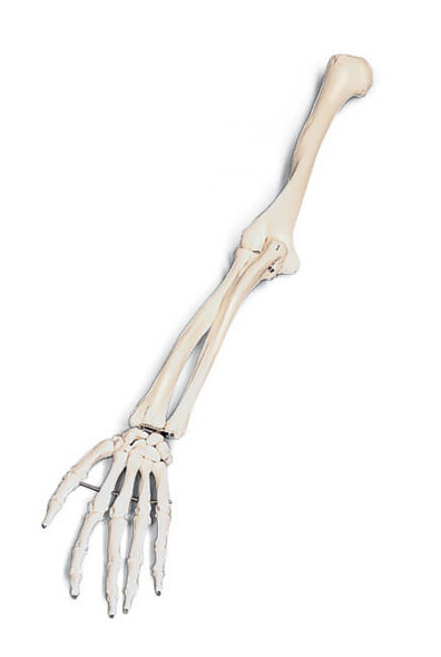 Arm Skeleton