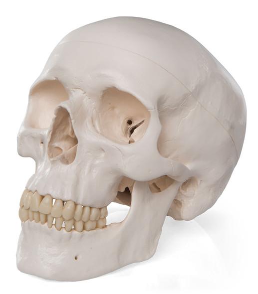 Standard Human Skull, natural cast, adult