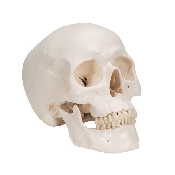 Standard Human Skull