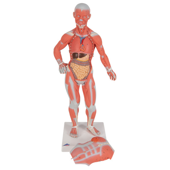 Mini Muscular Figure, 2 parts | 3B Scientific B59