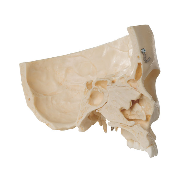 BONElike Human Skull Model, Half Transparent & Half Bony- Complete with  Brain and Vertebrae