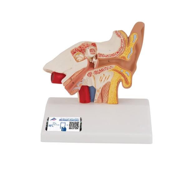 Desktop Ear Model | 3B Scientific E12