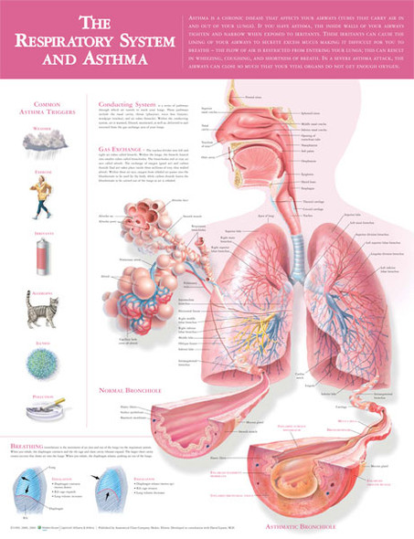 The Respiratory System and Asthma