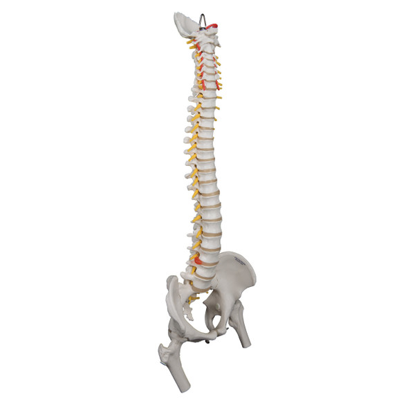 Heavy-Duty Flexible Spine with Femur Heads