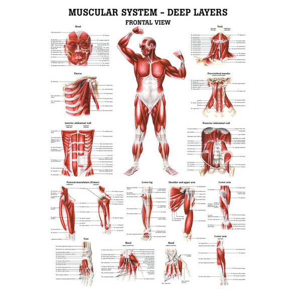 Muscular System Set - Deep Layers, Frontal  and Back View