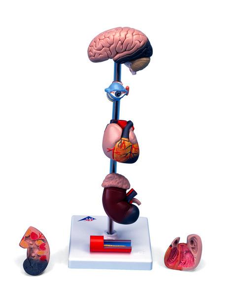 Hypertension model, 7 parts