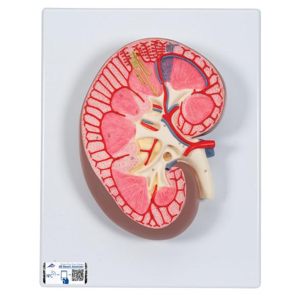 Kidney Section | 3B Scientific K10
