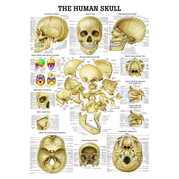 The Human Skull (Large Size)