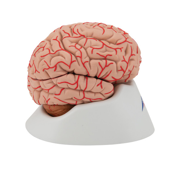 Deluxe Brain with Arteries, 9 parts