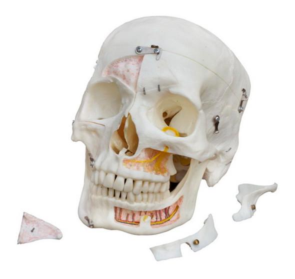 Human Demonstration Skull