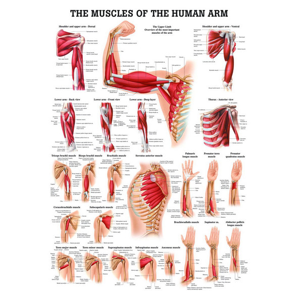 Muscles of the Human Arm