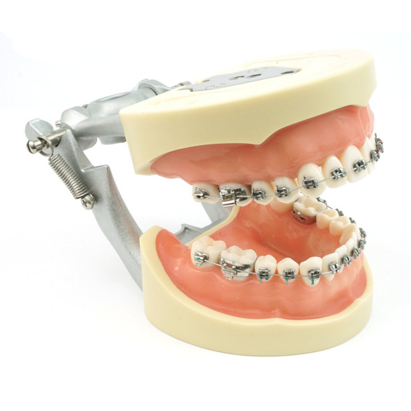 28 Tooth Orthodontic Typodont model