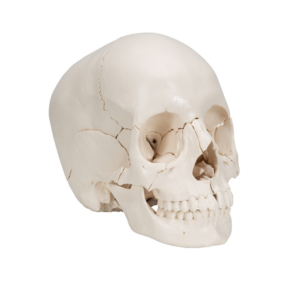 22-part Disarticulated Skull, Natural Bone Colour | 3B Scientific A290