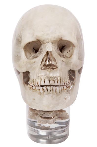 X-ray phantom head with cervical vertebrae, transparent