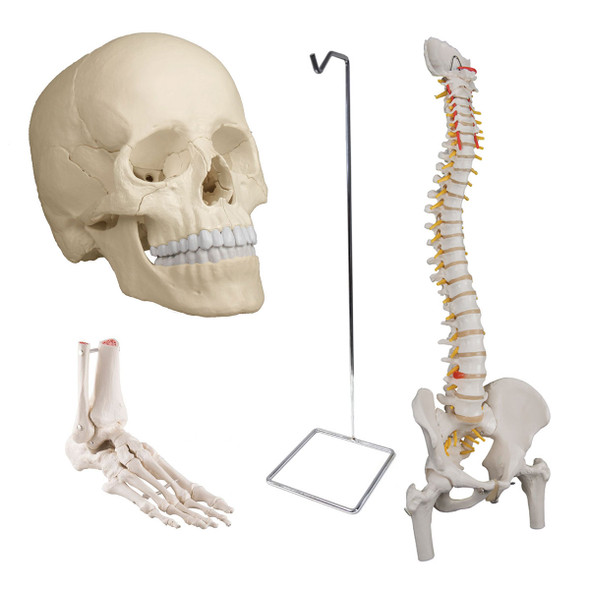 Osteopathic Bundle with  Flexible Spine and Femur Heads