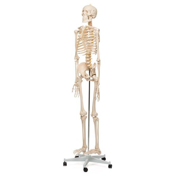 Demo Model - Value Standard Human Skeleton