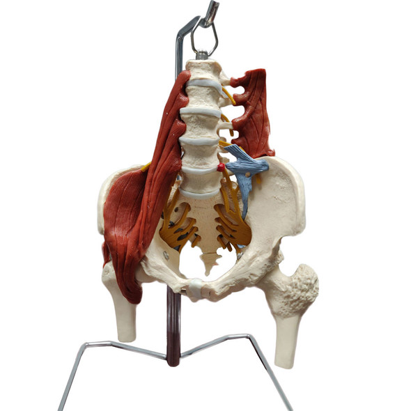 Muscled Lumbar Spine model