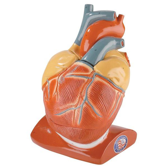 Giant Heart with Pericardium and Diaphragm - Denoyer Geppert