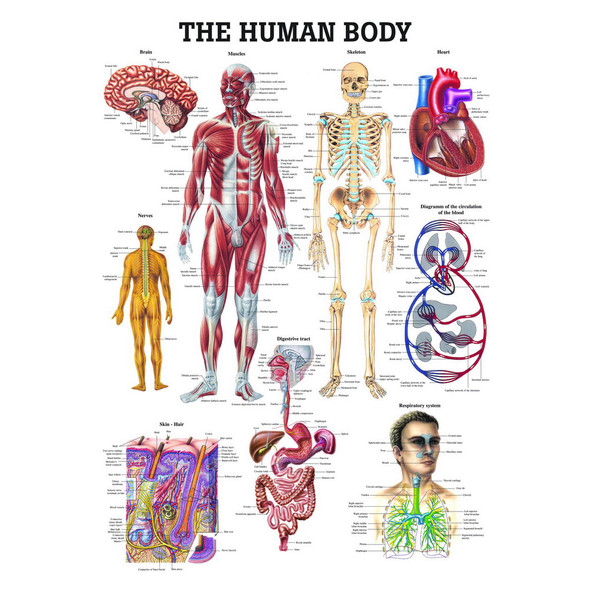 The Human Body - Anatomical chart, Rudiger Anatomie - 70cm - 100cm