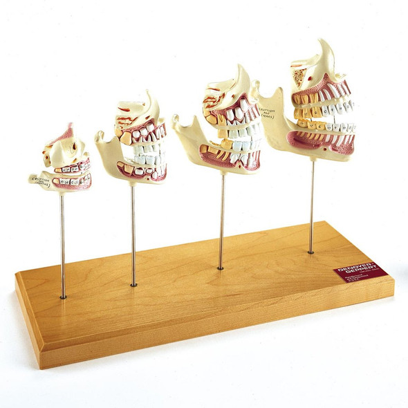 Teeth And Jaw Development - Denoyer Geppert