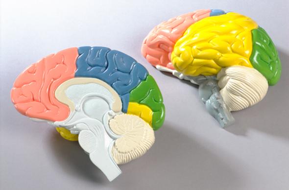0156-00 Life-Size 2-Part Cerebral Regions Brain, painted