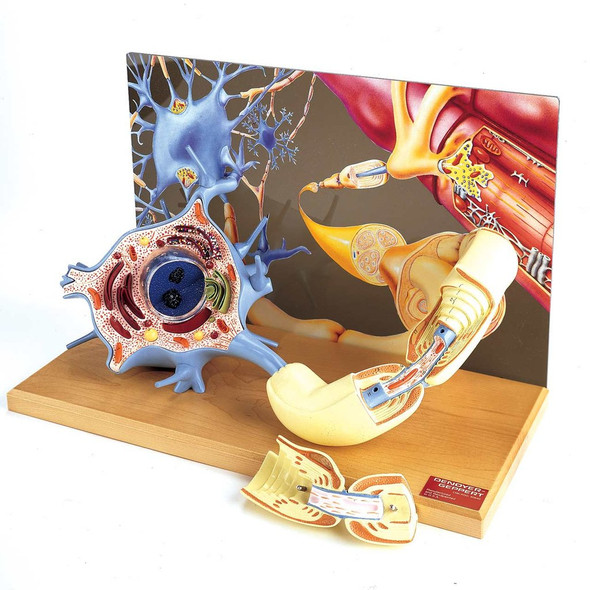 0167-00 Motor Neuron Diorama