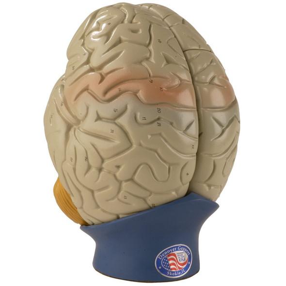 0170-00 Giant Four-Part Brain