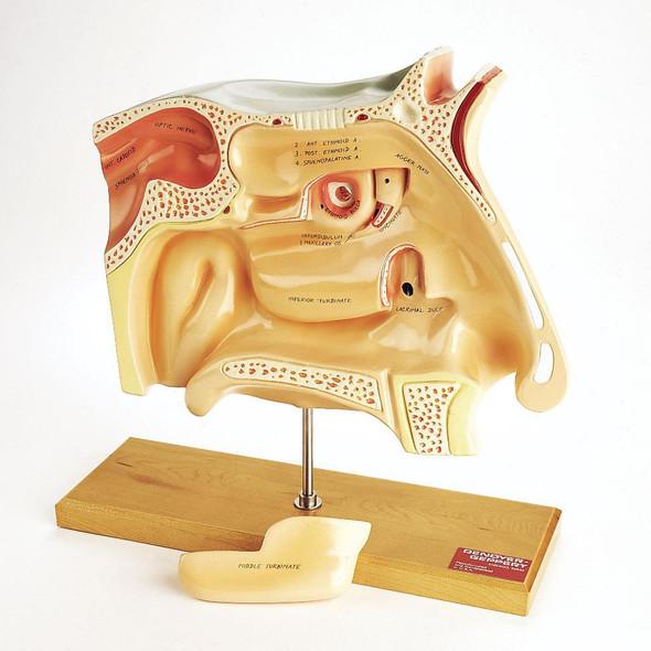 0950-00 Human Sinuses Model
