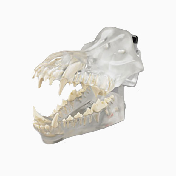 Articulated Clear Canine Model with natural root teeth - DGD